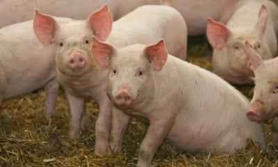 Colombia inicia exporaciones de cerdo