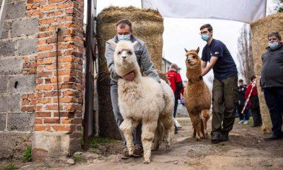 Universidad chilena vende anticuerpos de alpaca que neutralizan el SARS-CoV-2