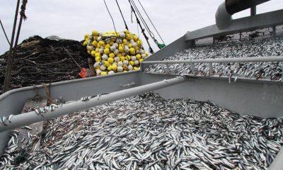 Perú: Industria pesquera de anchoveta se recupera